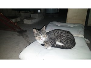 <a href='/pet-recovery/FoundPetPoster.aspx?sighting=19470' style='color:white; text-decoration:none;'>American shorthair (Cat)<br/>Rosemont, IL</a>