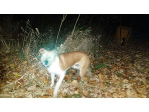 <a href='/pet-recovery/FoundPetPoster.aspx?sighting=19479' style='color:white; text-decoration:none;'>possible pit bull mix (dog)<br/>Wixom, MI</a>