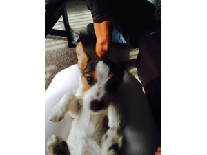 <a href='/pet-recovery/LostPetPosterOnline.aspx?lpid=38431' style='color:white; text-decoration:none;'>Percious (Jack Russell Terrier)<br/>WHEATON, IL</a>