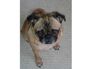 <a href='/pet-recovery/FoundPetPoster.aspx?sighting=19491' style='color:white; text-decoration:none;'>pug (dog)<br/>corpus christi, TX</a>