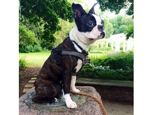 <a href='/pet-recovery/LostPetPosterOnline.aspx?lpid=38463' style='color:white; text-decoration:none;'> (Boston Terrier)<br/>Zion, IL</a>