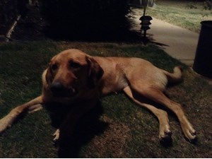 <a href='/pet-recovery/FoundPetPoster.aspx?sighting=19495' style='color:white; text-decoration:none;'>Lab/retriever/Rhodesian ridgeback mix (Dog)<br/>Waxahachie/Maypearl area, TX</a>