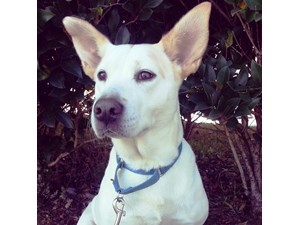 <a href='/pet-recovery/LostPetPosterOnline.aspx?lpid=38467' style='color:white; text-decoration:none;'>Magnolia aka Baby (Shiloh Shepard / Labrador Retriever)<br/>Acworth, GA</a>