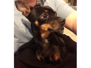 <a href='/pet-recovery/FoundPetPoster.aspx?sighting=19501' style='color:white; text-decoration:none;'>Mini Pincher / Chihuahua-Pincher (Dog)<br/>Allen Park, MI</a>