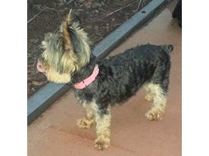 <a href='/pet-recovery/LostPetPosterOnline.aspx?lpid=38475' style='color:white; text-decoration:none;'>Elizabeth (Yorkshire Terrier)<br/>Apollo Beach, FL</a>