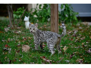 <a href='/pet-recovery/LostPetPosterOnline.aspx?lpid=41422' style='color:white; text-decoration:none;'>Quimba (Savannah Cat)<br/>Boones Mill, VA</a>
