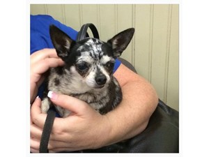 <a href='/pet-recovery/LostPetPosterOnline.aspx?lpid=38470' style='color:white; text-decoration:none;'>Belle (Chihuahua)<br/>Crestline, CA</a>
