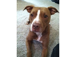 <a href='/pet-recovery/LostPetPosterOnline.aspx?lpid=38480' style='color:white; text-decoration:none;'>Lucy (Pit Bull)<br/>Kent, WA</a>