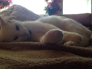 <a href='/pet-recovery/LostPetPosterOnline.aspx?lpid=38487' style='color:white; text-decoration:none;'>Coconut (Crybaby) (American Shorthair)<br/>Ilion, NY</a>