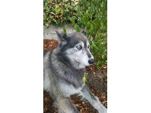 <a href='/pet-recovery/FoundPetPoster.aspx?sighting=19508' style='color:white; text-decoration:none;'>Husky mix (Dog)<br/>San Jose, CA</a>