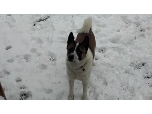 <a href='/pet-recovery/LostPetPosterOnline.aspx?lpid=38496' style='color:white; text-decoration:none;'>Kuma (Akita)<br/>Haverhill, MA</a>