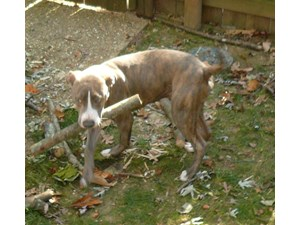 <a href='/pet-recovery/FoundPetPoster.aspx?sighting=19519' style='color:white; text-decoration:none;'>Brindle mix (dog)<br/>North Chesterfield, DC</a>