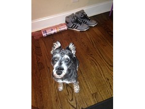 <a href='/pet-recovery/LostPetPosterOnline.aspx?lpid=38503' style='color:white; text-decoration:none;'>Duke (Miniature Schnauzer)<br/>Chicago, IL</a>