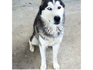<a href='/pet-recovery/LostPetPosterOnline.aspx?lpid=38516' style='color:white; text-decoration:none;'>Buddy (Siberian Husky)<br/>Los Angeles, CA</a>