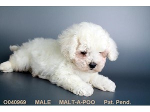 <a href='/pet-recovery/LostPetPosterOnline.aspx?lpid=39212' style='color:white; text-decoration:none;'>Winter (Malt-A-Poo)<br/>Las Vegas, NV</a>
