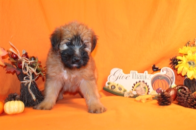 Male Soft Coated Wheaten Terrier