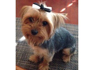 <a href='/pet-recovery/LostPetPosterOnline.aspx?lpid=39086' style='color:white; text-decoration:none;'>Mia Mor Ortiz (Yorkshire Terrier)<br/>San Antonio, TX</a>