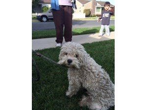 <a href='/pet-recovery/FoundPetPoster.aspx?sighting=19906' style='color:white; text-decoration:none;'>Mix poodle (Dog)<br/>Long Beach, CA</a>