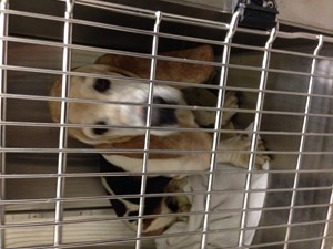 <a href='/pet-recovery/FoundPetPoster.aspx?sighting=19907' style='color:white; text-decoration:none;'>Basset Hound (Dog)<br/>Kennesaw, GA</a>
