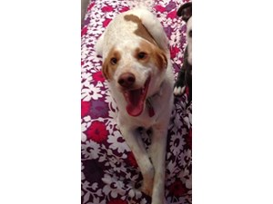 <a href='/pet-recovery/LostPetPosterOnline.aspx?lpid=39111' style='color:white; text-decoration:none;'>Cinna (BRITTANY SPANIEL)<br/>Somerset, PA</a>