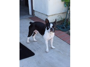 <a href='/pet-recovery/LostPetPosterOnline.aspx?lpid=39127' style='color:white; text-decoration:none;'>Maya (Boston Terrier)<br/>Santa Ana, CA</a>