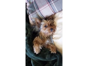 <a href='/pet-recovery/LostPetPosterOnline.aspx?lpid=39134' style='color:white; text-decoration:none;'>Daisy (Yorkshire Terrier)<br/>FORT MYERS, FL</a>