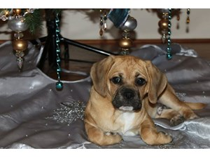 <a href='/pet-recovery/LostPetPosterOnline.aspx?lpid=39138' style='color:white; text-decoration:none;'>Beau (Puggle)<br/>Houston, TX</a>