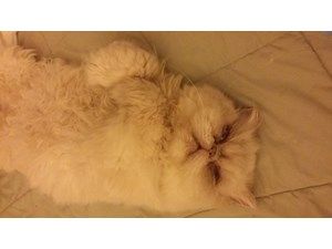 <a href='/pet-recovery/LostPetPosterOnline.aspx?lpid=39141' style='color:white; text-decoration:none;'>Grace (Himalayan / Persian)<br/>encino, CA</a>