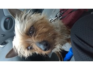 <a href='/pet-recovery/FoundPetPoster.aspx?sighting=19937' style='color:white; text-decoration:none;'>Yorkshire Terrier (Dog)<br/>Wichita, KS</a>
