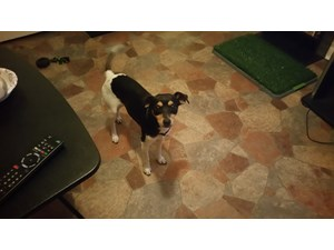 <a href='/pet-recovery/FoundPetPoster.aspx?sighting=19949' style='color:white; text-decoration:none;'>rat terrier mix (dog)<br/>lawton, OK</a>