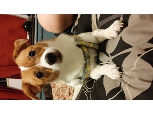 <a href='/pet-recovery/FoundPetPoster.aspx?sighting=19951' style='color:white; text-decoration:none;'>jack russell (dog)<br/>st.Petersburg, FL</a>