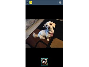 <a href='/pet-recovery/FoundPetPoster.aspx?sighting=19954' style='color:white; text-decoration:none;'>poodle/shitzu (dog)<br/>madison, WI</a>