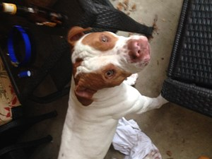<a href='/pet-recovery/FoundPetPoster.aspx?sighting=19956' style='color:white; text-decoration:none;'>Pit Bull Mix (Dog)<br/>San Antonio, TX</a>
