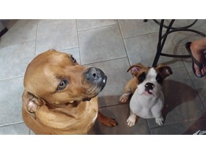 <a href='/pet-recovery/LostPetPosterOnline.aspx?lpid=39175' style='color:white; text-decoration:none;'>JAKE (Boxer / American Pit Bull Terrier)<br/>Bergheim, TX</a>