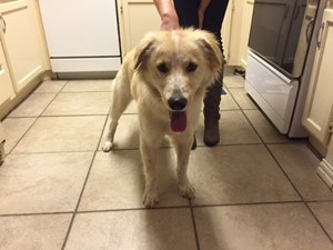 <a href='/pet-recovery/FoundPetPoster.aspx?sighting=19962' style='color:white; text-decoration:none;'>Golden Retriever Mix (dog)<br/>Fort Worth, TX</a>
