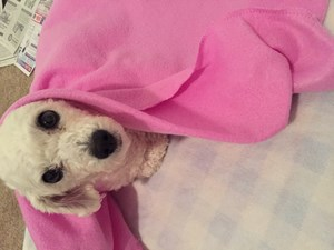 <a href='/pet-recovery/FoundPetPoster.aspx?sighting=19963' style='color:white; text-decoration:none;'>Maltipoo (Dog)<br/>Morrow, GA</a>