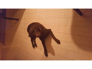 <a href='/pet-recovery/LostPetPosterOnline.aspx?lpid=39188' style='color:white; text-decoration:none;'>hershey (Labrador Retriever)<br/>lehigh acres, FL</a>