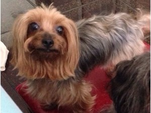 <a href='/pet-recovery/LostPetPosterOnline.aspx?lpid=39197' style='color:white; text-decoration:none;'>Mya (Yorkshire Terrier)<br/>missiouri city, TX</a>
