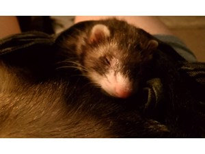 <a href='/pet-recovery/LostPetPosterOnline.aspx?lpid=39194' style='color:white; text-decoration:none;'>Sam (Ferret)<br/>Chicago, IL</a>