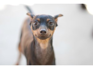 <a href='/pet-recovery/LostPetPosterOnline.aspx?lpid=39199' style='color:white; text-decoration:none;'>Pepsi (Miniature Pinscher)<br/>Temple city, CA</a>