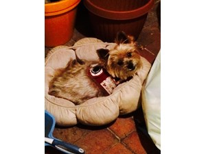 <a href='/pet-recovery/LostPetPosterOnline.aspx?lpid=39200' style='color:white; text-decoration:none;'>Bella (Yorkshire Terrier)<br/>North Hollywood, CA</a>