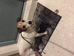 <a href='/pet-recovery/FoundPetPoster.aspx?sighting=19998' style='color:white; text-decoration:none;'>Jack Russell mix (Dog)<br/>Sanford, FL</a>