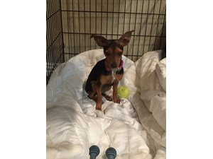 <a href='/pet-recovery/FoundPetPoster.aspx?sighting=20004' style='color:white; text-decoration:none;'>Chihuahua Mix (Dog)<br/>Coppell, TX</a>
