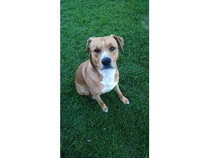 <a href='/pet-recovery/FoundPetPoster.aspx?sighting=20005' style='color:white; text-decoration:none;'>Pit/Lab Mix (Dog)<br/>Valley Glen, CA</a>