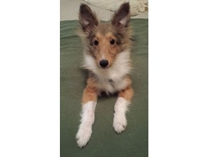 <a href='/pet-recovery/LostPetPosterOnline.aspx?lpid=39253' style='color:white; text-decoration:none;'>FLYNN (Shetland Sheepdog)<br/>Manitowoc, WI</a>