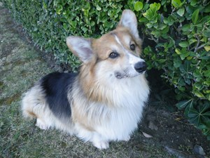 <a href='/pet-recovery/FoundPetPoster.aspx?sighting=20010' style='color:white; text-decoration:none;'>Pembroke Welsh Corgi (dog)<br/>Calabasas, CA</a>