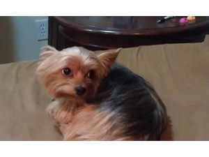 <a href='/pet-recovery/LostPetPosterOnline.aspx?lpid=39261' style='color:white; text-decoration:none;'>Missy (Yorkshire Terrier)<br/>Claremont, CA</a>