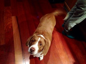 <a href='/pet-recovery/FoundPetPoster.aspx?sighting=20030' style='color:white; text-decoration:none;'>Mixed- beagle? (Dog)<br/>Hedgesville, WV</a>