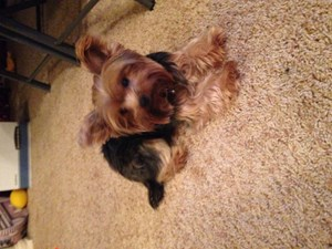 <a href='/pet-recovery/LostPetPosterOnline.aspx?lpid=39282' style='color:white; text-decoration:none;'>Bella (Yorkshire Terrier)<br/>Bristow, OK</a>