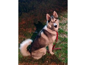 <a href='/pet-recovery/FoundPetPoster.aspx?sighting=21036' style='color:white; text-decoration:none;'>Siberian huskey (Dog)<br/>Downey, CA</a>